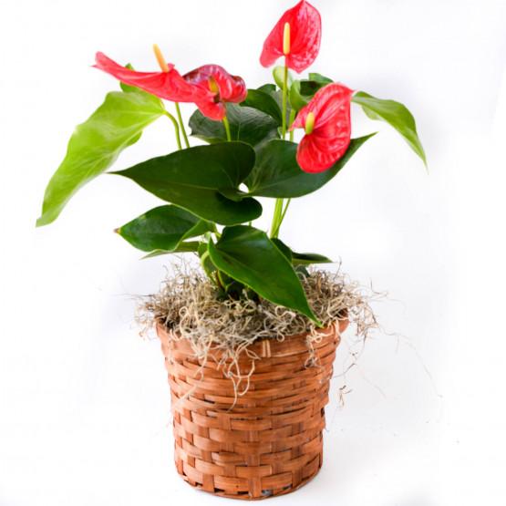 Anthurium in a Basket