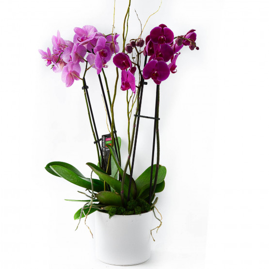Above and Beyond Orchid
